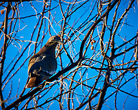 White-winged Dove. Image taken with a Nikon D300 camera and 80-400 mm VR lens (ISO 200, 400 mm, f/8, 1/250 sec).
