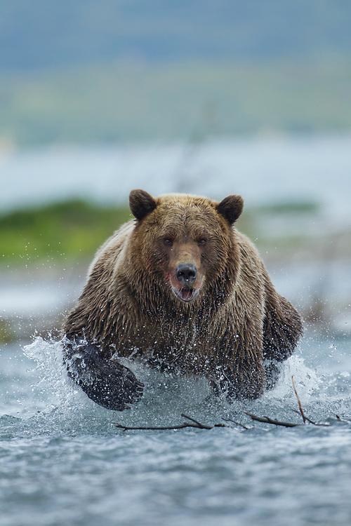 USA, Alaska, Katmai National Park, Grizzly Bear (Ursus arctos) runs while fishing for spawning salmon in in river along Kukak Bay