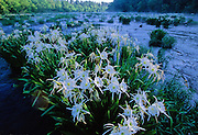 Cahaba Lilies on a cool, misty morning on the Cahaba river, Alabama. One of only a few places in the US where they are found.