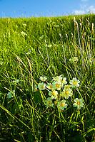 Primrose, Primavera (Primula sp.) Scotland, UK