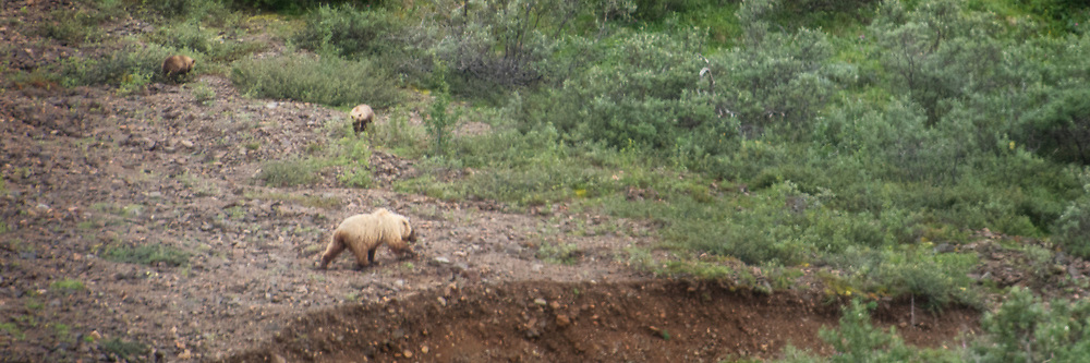 Golden Grizzly bear and her two cubs, Denali National Park, Alaska.  93 mile Ride to the End of the Road.
