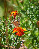 Common Buckeye butterfly on a Marigold flower. Image taken with a Nikon D5 camera and 80-400 mm VRII lens.
