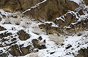 LADAKH, INDIA: Male snow leopard moves past snow covered rocks in Hemis National Park.