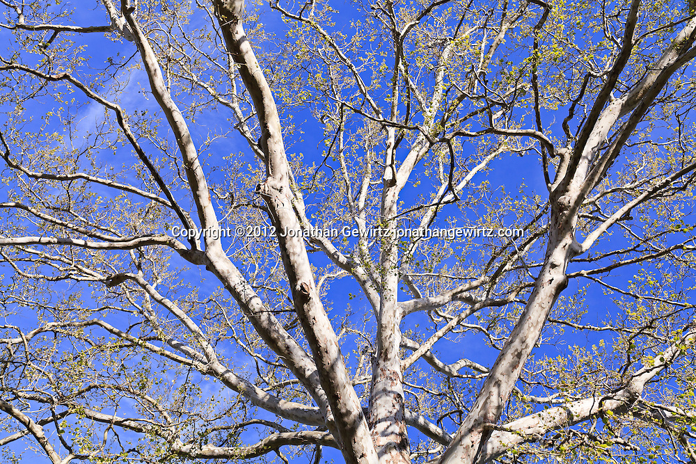 The upper branches of a tall sycamore tree. WATERMARKS WILL NOT APPEAR ON PRINTS OR LICENSED IMAGES.