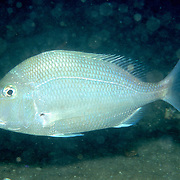 Sheepshead Porgy hover above reefs and adjacent sand areas in Tropical West Atlantic; picture taken Grand Cayman.