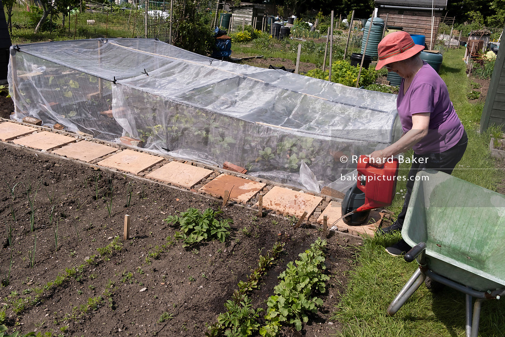 An elderly woman waters her veg at the family vegetable allotment plot, on 30th May 2021, in Nailsea, North Somerset, England.