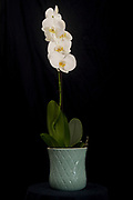 A white Orchid (Phalaenopsis sp.) in flower on Black background