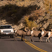 Herd of Bighorn Sheep(Ovis canadensis) crossing road in Yellowstone National Park.