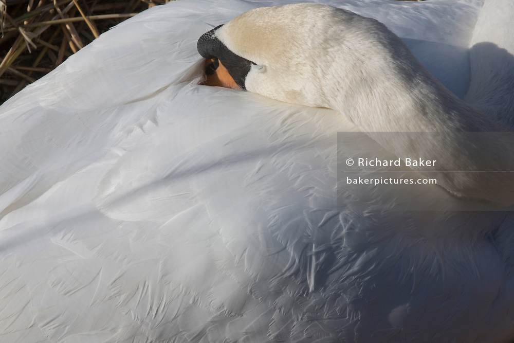Detail of a female mute swan (pen) and feathers while incubating her eggs on a nest.