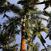 Palm trees view up from the ground on sunset