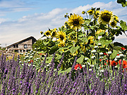 A sunflower thrives in rows of lavender (flowering plant in the mint family, Lamiaceae). Grown at Jardin du Soleil Lavender Farm at the Sequim Lavender Festival held mid July on the Olympic Peninsula in Washington, USA.