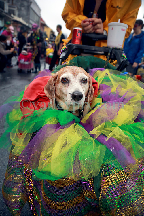 """23 Feb 2014. New Orleans, Louisiana.<br /> Dogs and their owners walk the wet and soggy streets of the French Quarter at the 22nd Mystic Krewe of Barkus parade, the only officially licensed Mardi Gras krewe by and for canines. This year's parade is themed  """"Dogzilla: Barkus Licks the Crescent City."""" <br /> Photo; Charlie Varley/varleypix.com"""