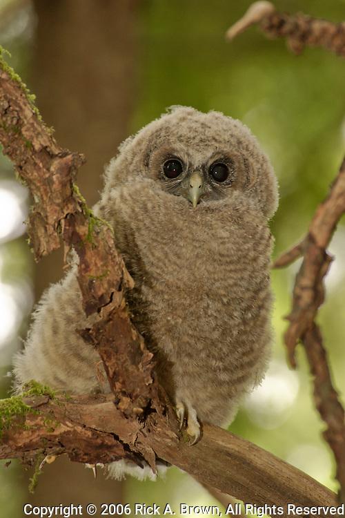 Oreogn, Coast Range, a Northern Spotted Owl (Strix occidentalis) fledgling