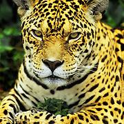 Adult jaguar staring at the world in Banos, Ecuador.