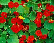 Showy blooms of Garden Nasturtium, Tropaeolum majus, Alison Dormer's Garden, Matanuska Valley, Alaska.