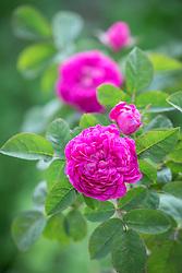 Rosa 'De Resht' AGM syn. Rosa 'Rose de Rescht'.