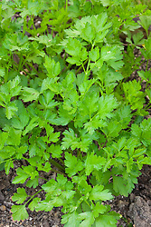 Flat leaved Parsley. Petroselinum crispum var. neapolitanum