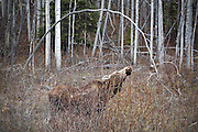 A female moose (Alces alces) calling from the forest's edge along the Glenn Highway, Alaska.