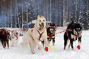 Mushing Dog Team at the official Start of the Iditorod in 2009