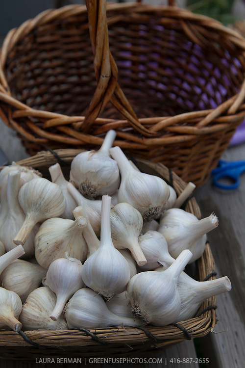 Basket of organic garlic at a farmers market.