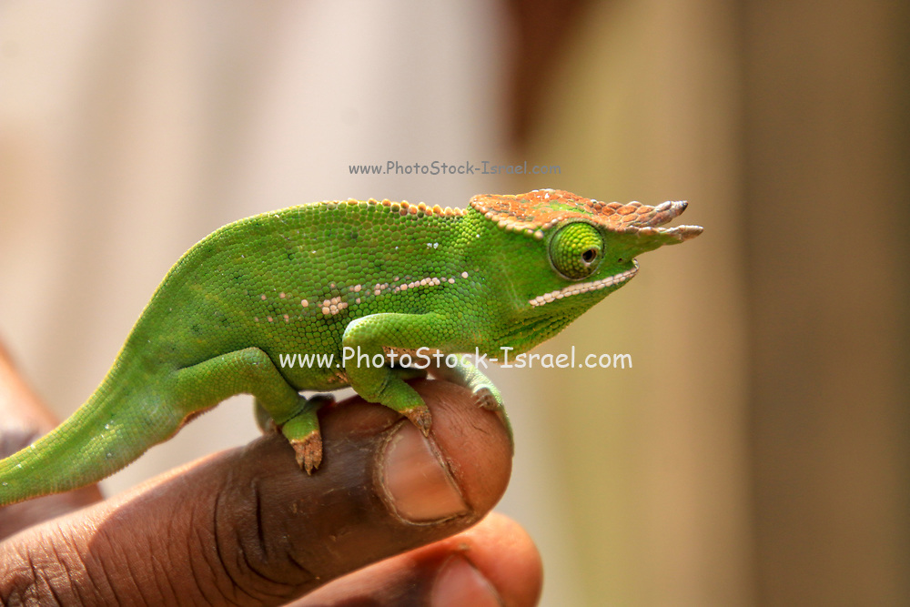 Close up of a Green Chameleon on a branch. Photographed in Madagascar
