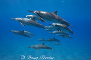 pod of Hawaiian spinner dolphins or Gray's spinner dolphin, Stenella longirostris longirostris, off Ho'okena Beach, South Kona, Hawaii ( the Big Island ), USA ( Central Pacific Ocean )