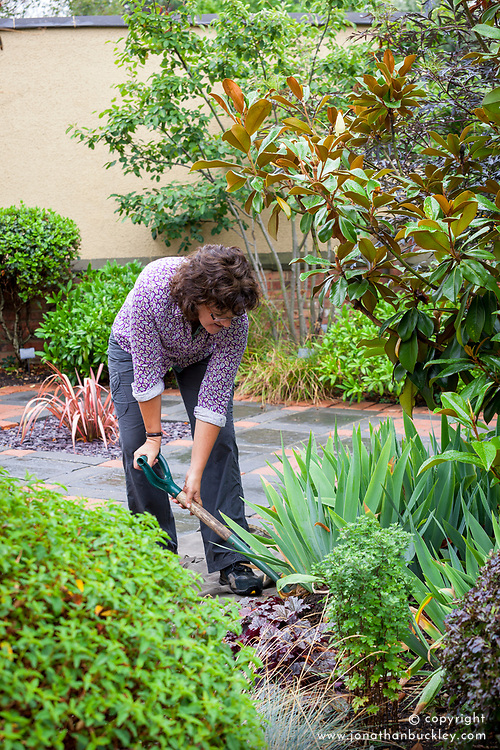 Lifting and dividing an iris in late summer. Digging up
