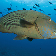 Profile of a friendly Napoleon wrasse (Cheilinus undulatus) at the world-famous dive site Blue Corner, with a swarm of redtoothed triggerfish (Odonus niger) in the background