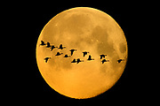 Montage of supermoon and geese in flight