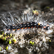 Caterpillar of tussock moth species Euproctis piperita. Illuminated here to empahsize the protective spike-like filaments covering its body. Photographed at Hontanikawa Keikoku in Yamanashi Prefecture, Japan. キドクガ, 本谷川渓谷, 山梨県