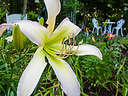 Long pollen bearing stamens extend from a white lily flower with yellow throat blooming in a Virginia garden, USA.