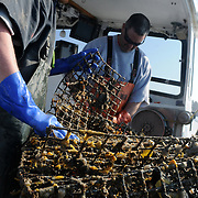 """3/20/12 -- HARPSWELL SOUND, HARPSWELL, Maine. Sternman Zach Drehobl, left, and Captain Jim Barclay of Harpswell's F/V Lorelei haul aboard a lobster trap lost in 2007 on Tuesday morning as part of 'Gear Grab', sponsored by non-profit association, Gulf of Maine Lobster Foundation (GOMLF). <br /> <br /> Gear Grab provides grant funding to lobster fishermen who volunteer to grapple up some of the thousands of pounds of lost lobstering gear - known as """"Ghost Gear"""" - which litters the sea floor in Maine's fishing grounds.<br /> <br /> The 2-day Harpswell-based event allowed fishermen to clean up places which they knew were already a mess - and drag a grappling hook along the bottom in places where they guessed Ghost Gear might have accumulated.  .""""I didn't even use the fish finder -- I just knew where that one was - I was snagging it all last year,"""" said Captain Barclay of hauling in a snarl of 18 traps in Harpswell Sound on Monday. <br /> <br /> On Monday F/V Lorelei brought in close to 30 ghost traps - the first day of the event. Tuesdays catch came to four - with a few pieces of wooden traps which appeared to disintegrate on the way up from the bottom. """"We've really only dragged about a quarter of the spots which we know are bad,"""" said Sternman Drehobl. """"And, the hard part is - you could miss [a ghost trap] by three feet with your hook and never know it.""""<br /> <br /> GOMLF is a non-profit based in Kennebunk which works with fishermen, scientists and community members to support a healthy lobster fishery in Maine. <br /> <br /> Another Gear Grab is planned for Tenant's Harbor on Wednesday and Thursday this week and a date and place are being set up by Director Erin Pelletier for Southern Maine in the next few weeks. <br /> <br /> For more information or to participate in GOMLF events visit http://www.gomlf.org/ or call: 207-205-8088. <br /> <br /> Photo and extended caption by Roger S. Duncan."""