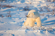 01874-13610 Polar Bear (Ursus maritimus)  Cape Churchill, Wapusk National Park, Churchill, MB