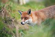 Red fox portrait<br /> face<br /> mammals<br /> nature<br /> wildlife<br /> Surrey<br /> UK
