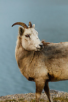 Rocky Mountain Bighorn Sheep on the Minnewanka Loop in Banff National Park<br /> <br /> ©2013, Sean Phillips<br /> http://www.RiverwoodPhotography.com