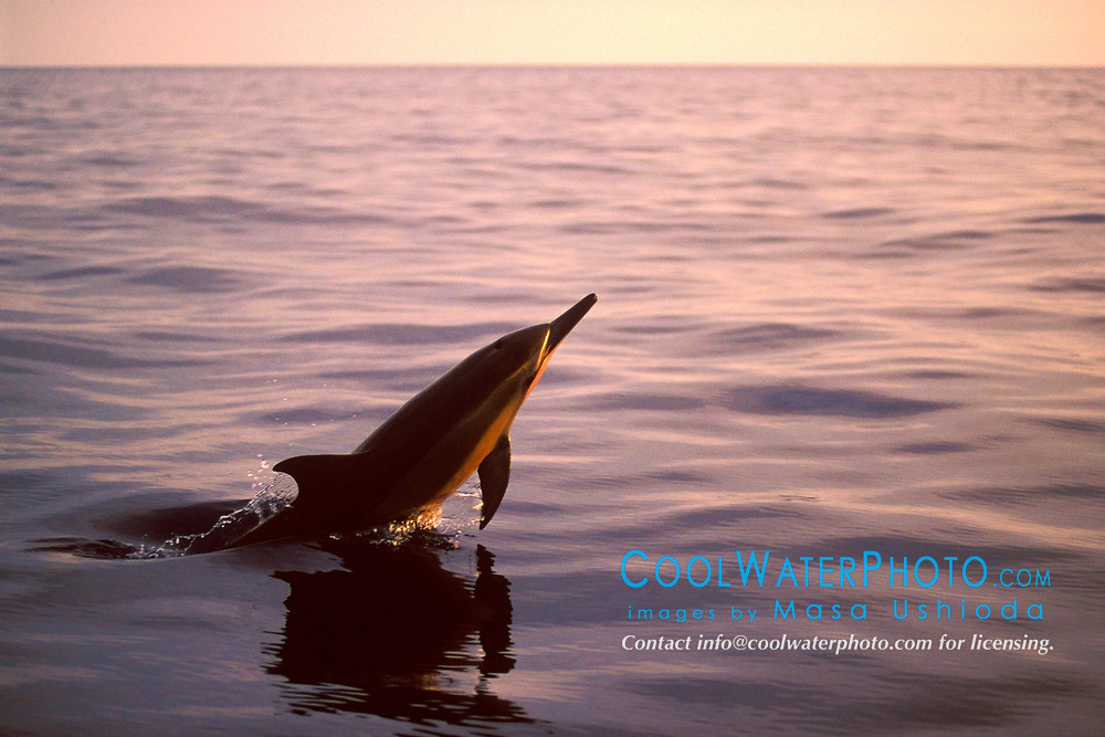 Long-snouted Spinner Dolphin, head-slapping at sunset, Stenella longirostris, Big Island, Hawaii, Pacific Ocean
