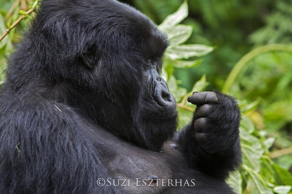 Mountain Gorilla<br /> Gorilla gorilla berengei<br /> Adult female<br /> Virunga Volcanoes National Park, Rwanda<br /> *Endangered Species