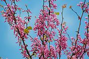 Flowering Judas Tree Cercis siliquastrum Photographed in Israel in March
