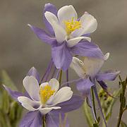 Colorado Columbine (Aguilegia coerulea) Flowers in Yankee Boy Basin near Ouray, Colorado. Late Spring.