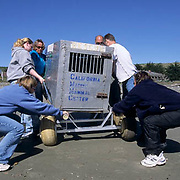 Northern Elephant Seal, (Mirounga angustirostris)  Volunteers from Marine Mammal Center haul release box with Kona in it to transport vehicle. California.