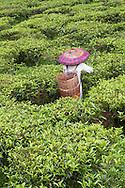 Worker picking tea at the Gunung Mas Tea Estate, Puncak, West Java, Indonesia.