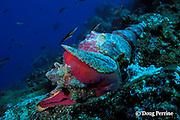 Panamic horse conch, Pleuroploca princeps, eating murex shell, Galapagos Islands, Ecuador, ( Eastern Pacific Ocean )