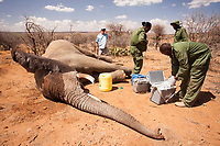A young bull elephant is treated for a gunshot wound on his leg on Loisaba Conservancy, Kenya