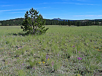 The landscape at Florissant Fossil Beds is gentle low hills of mixed forest and meadows. Colorado.