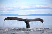 USA, Alaska, Frederick Sound, Humpback whale (Megaptera novaeangliae) tail