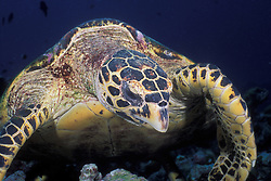 A Hawksbill Turtle, Eretmochelys imbricata, browses for sponges and soft corals amidst coral rubble. Similan Islands Marine National Park, Thailand, Andaman Sea