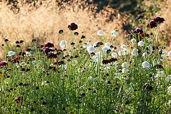 Scabiosa atropurpurea 'Black and white Mix' in front of Stipa gigantea in the cutting garden