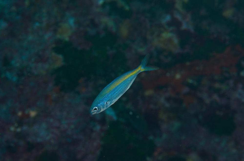 Blue Knifr Fish, Labracoglossa nitida