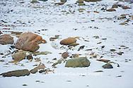01863-01616 Arctic Fox (Alopex lagopus) in winter, Churchill Wildlife Management Area, Churchill, MB