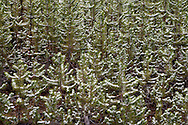 An early autumn snowfall is caught by branches of Lodgepole Pine (Pinus contorta latifolia) trees growing thickly in a new forest growing after forest fires burned large areas in Yellowstone National Park, Wyoming, USA